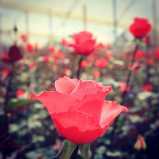 EIKA_KONYAKUYUBIWA_POST_140514eika-rose