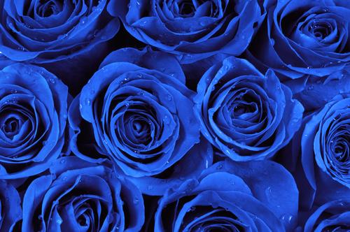 幻の青バラで、幸せを呼ぶプロポーズプレゼントを | 最高の婚約指輪とプロポーズ