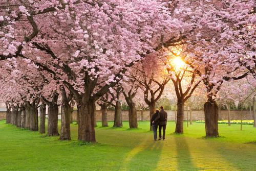 春_季節_桜_カップル