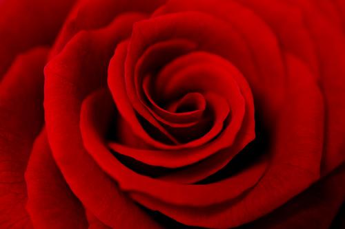 赤い_バラ_赤バラ